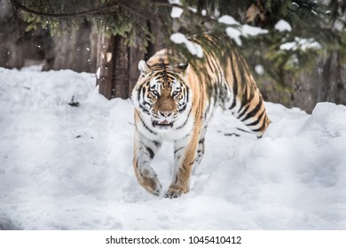 A tiger in a forest in winter