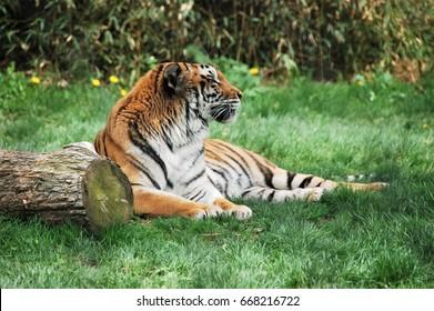 Tiger - Franklin Park Zoo