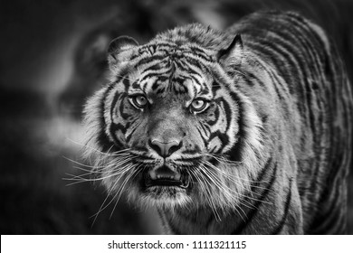 Tiger front view staring and looking straight ahead monochrome black and white image