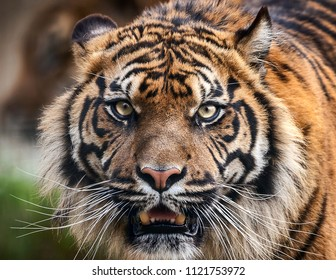 Tiger front view staring and looking straight ahead