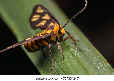 tiger grass borer moth (wasp moth)