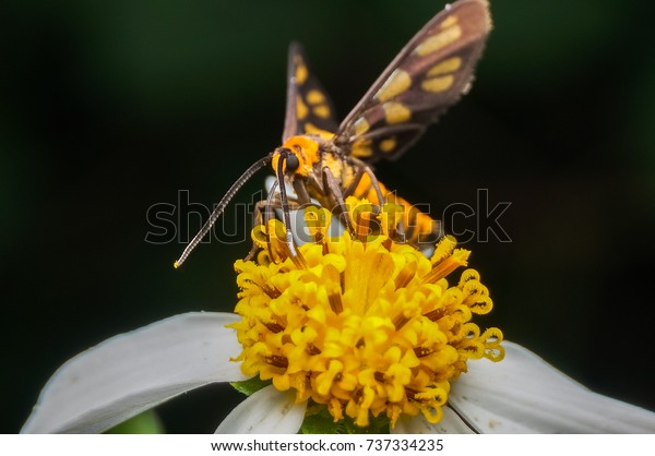 tiger grass borer moth (wasp moth)