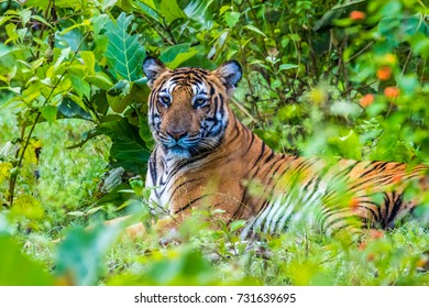 Tiger in the green indian jungle