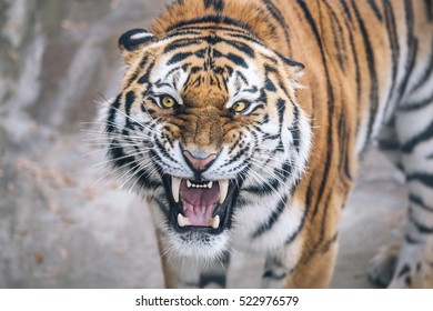 Tiger growling  aggression directly