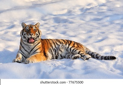 tiger has a rest lays on a snow