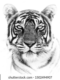tiger head black and white background