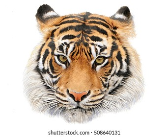 Tiger head hand draw and paint color on white background illustration.