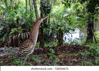 Tiger Heron in the Amazon