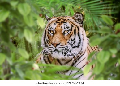 tiger hidden in the forest