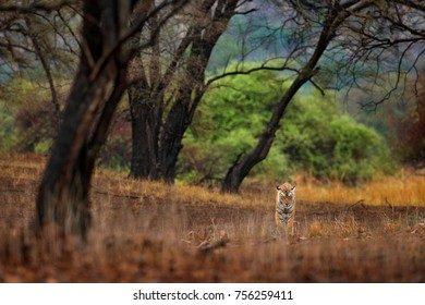 Tiger hidden walking in old dry forest. Indian tiger first rain, wild danger animal in the nature habitat, Ranthambore, India. Big cat, endangered animal, nice fur coat. End of dry season, monsoon.