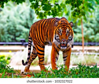 Tiger from India in Asia