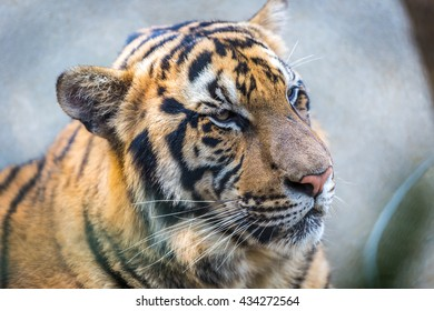 A tiger inside a cage in northern Thailand