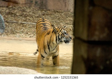 TIGER ISLAND, AUSTRALIA ZOO, AUSTRALIA -17th OCTOBER 2018:-The Tigers at Australia zoo have been hand reared and are very interactive with their handlers.