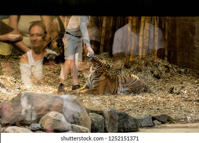 TIGER ISLAND, AUSTRALIA ZOO, AUSTRALIA -17th OCTOBER 2018:-The Tigers at Australia zoo have been hand reared and are very interactive with their handlers, reflections of the guests watching the show..