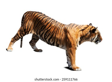 tiger. Isolated on white background with shade