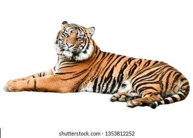 tiger isolated on white background,photo blurred.