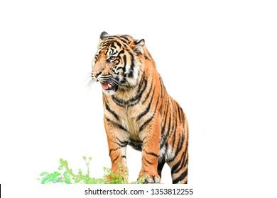 Tiger einzeln auf weißem Hintergrund, Foto unscharf.