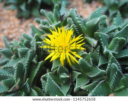 Tiger Jaws Succulent Plant Known Faucaria Stock Photo Edit Now