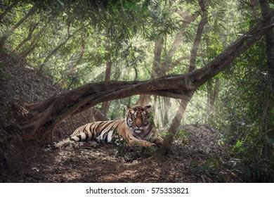 tiger in the jingle