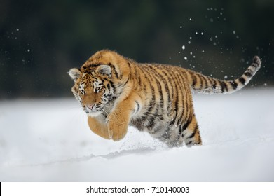 Tiger jumping on snow. Amur tiger in  wild winter nature. Danger animal action wildlife scene. Cold winter in tajga, Russia. Snowflake with beautiful Siberian tiger, Panthera tigris altaica