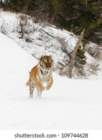 Tiger jumping in snow