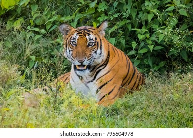 Tiger in the jungle in India