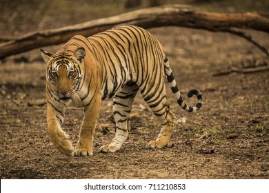 Tiger at Kabini