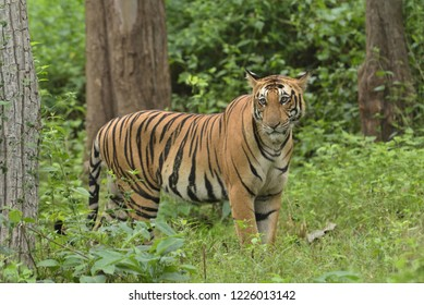 Tiger from kabini national park