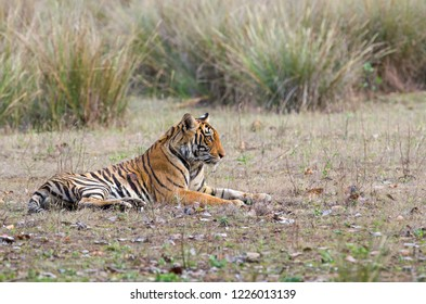 Tiger from Kanha National Park