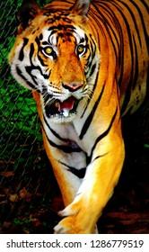 Tiger at Kanha National Park India