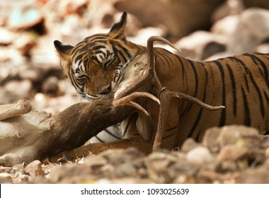 Tiger killing a deer, Ranthambore Tiger reserve