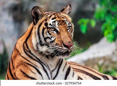 Tiger or tiger Laipadklan, selected focus.
