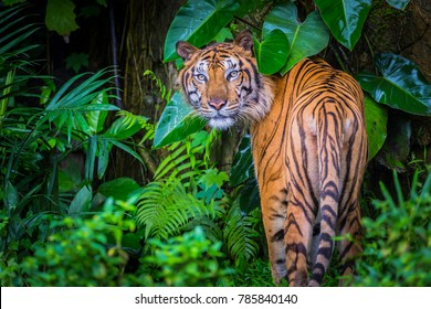 The tiger is the largest cat species, most recognizable for their pattern of dark vertical stripes on reddish-orange fur with a lighter underside.