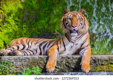 the tiger is the largest member of the felid (cat) family. They sport long, thick reddish coats with white bellies and white and black tails. Their heads, bodies, tails and limbs have narrow black.