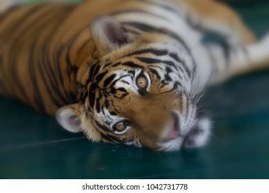 Tiger lay down eyes