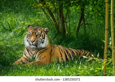 Tiger laying in green grass