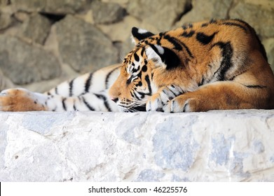 Tiger laying on the ground