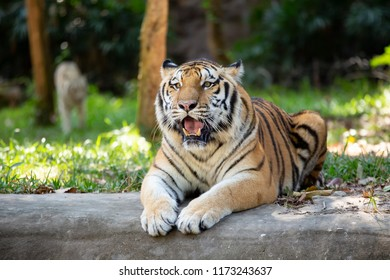 Tiger laying on the ground look directly into the lens Siberian tiger or Amur tiger
