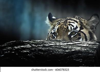 Tiger lie in wait. Feline predator before atack. Sweet wild cat.
