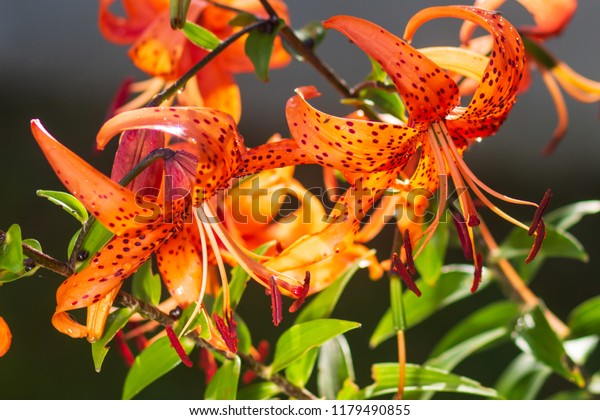 Tiger Lilies Garden Lilium Lancifolium Syn Stock Photo Edit Now
