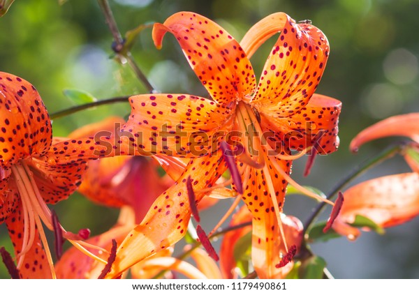 Tiger Lilies Garden Lilium Lancifolium Syn Stock Image Download Now