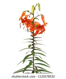Tiger lily blooming isolated on white, Lilium lancifolium syn. L. tigrinum