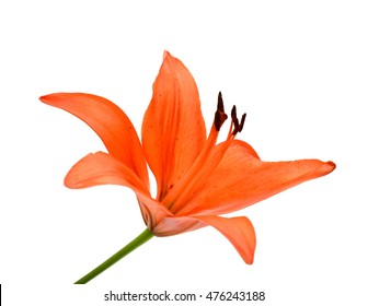 Tiger Lily Close-Up in front of a white background