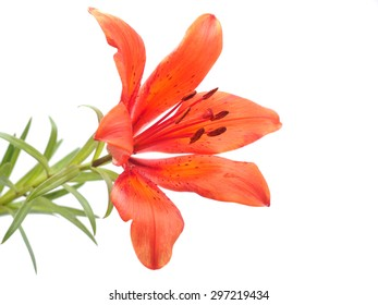 Tiger Lily on a white background