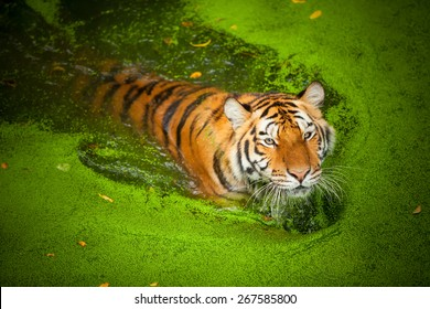 Tiger Lily is a swim to cool off.
