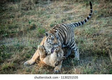 Tiger and Lion playing in grass