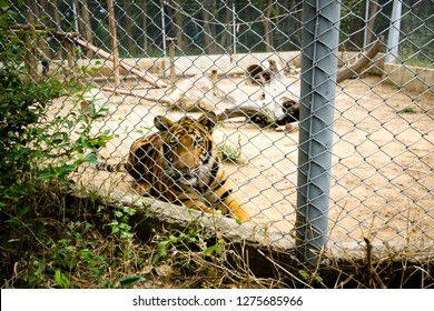 The tiger is locked in a cage, causing it to feel tortured.