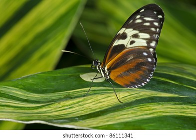 A Tiger Longwing Butterfly (Heliconius hecale) of the Nymphalidae family, ranging in Central and South America.
