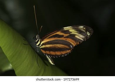 A Tiger Longwing, (Golden Helicon), Heliconius hecale, butterfly of the family Nymphalidae.