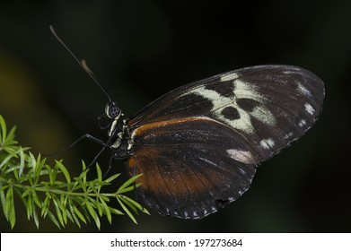A tiger longwing (Heliconius hecale) butterfly of the Nymphalidae family.